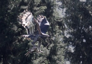 A magnificent Crowned Eagle carries off an unfortunate Grimm's Duiker