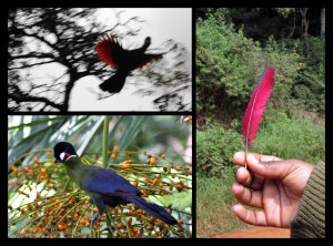 Turaco_Red_FB