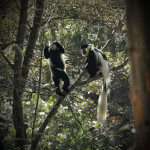 Colobus monkey pair