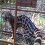 Lesser Spotted Genet
